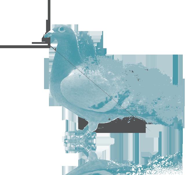 pigeon graphique